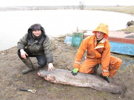 Сом весом 43кг 500 грамм - пойман 22 марта